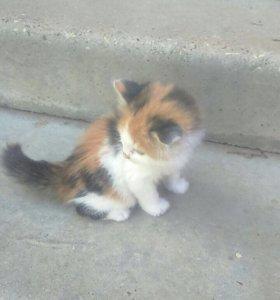 Трехцветная кошка . В хорошие руки