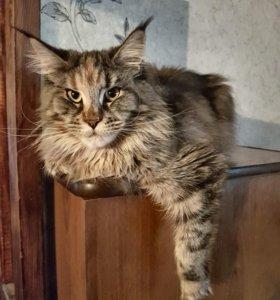 Котята Мейн Кун. Продажа-ОБМЕН
