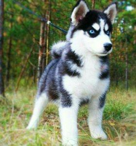 Хаски собака сибирская