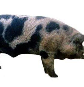 хряк породы Петрен и свиноматки породистые
