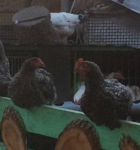 Куры , утки , гуси по заказу на мясо !