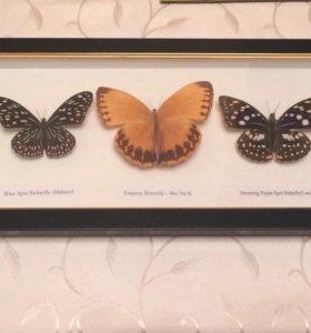 Бабочки засушенные в багете