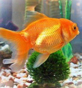 крупные золотые рыбки