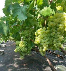 Саженцы винограда для средней полосы