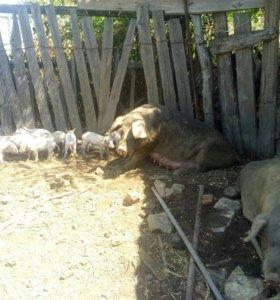 Свиноматки с поросятами