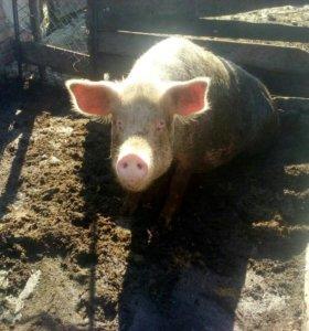 Поросная свиноматка