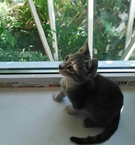 Серенький котик, а трёх цветная кошечка.