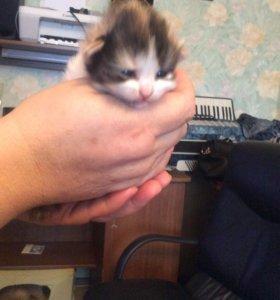 Котята скотиш страйт и скотиш фолд