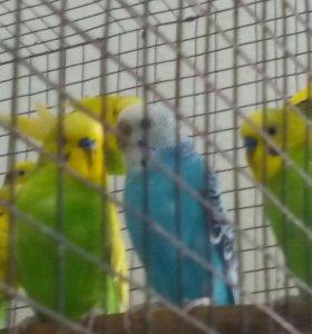 Попугаи волнистые