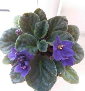 Фиалка сиренево-фиолетовая