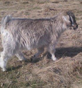 Продам коз ,СРОЧНО СРОЧНО СРОЧНО