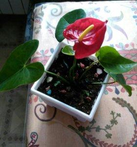 """Комнатное растение Антуриум (""""мужское счастье"""")"""