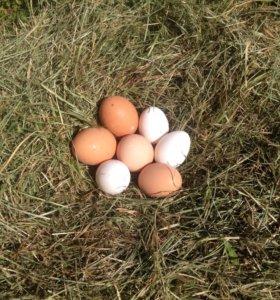 Домашнее куриное яйцо.