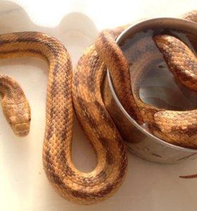 Змея крысиный полоз