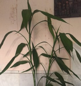 Дерево бамбук