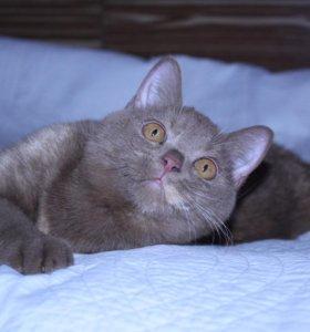 Циннамоновая британская кошечка
