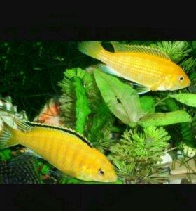 Рыбки елоу