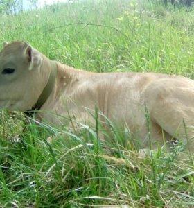 Швицкий бычек (возраст 4 месяца)