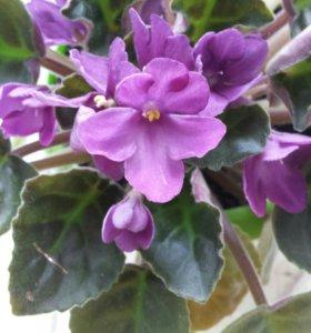Фиалка фиолетовая с корнями