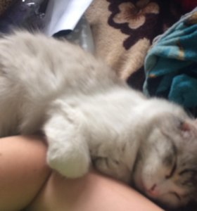 Отдам прекрасную красавицу кошку