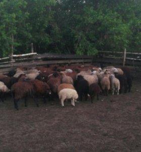Продам Баранов овечек Игнат