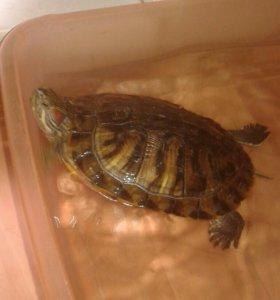 БЕСПЛАТНО красноухая черепаха