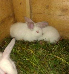 Калифорнийские крольчата