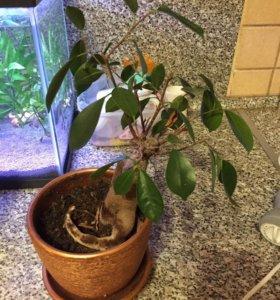 Живое растение Банзай