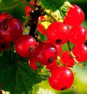 Продам ягоды красной смородины