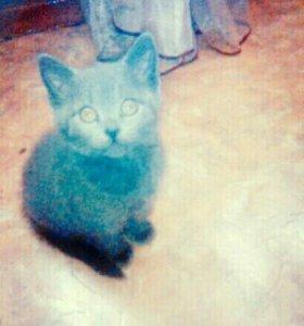 Продам котенка британского