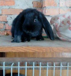 Крольчата барашки