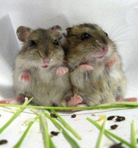 Джунгарики малютки