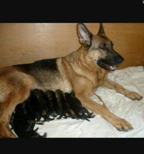 Продам щенков,немецкой овчярки