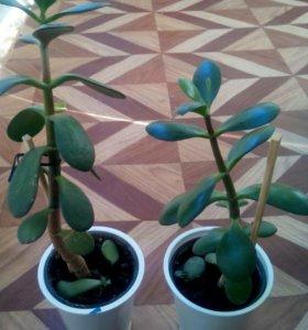 Комнатное растение толстянка (денежное дерево)
