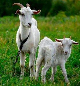 Козлята, козы и козлы.