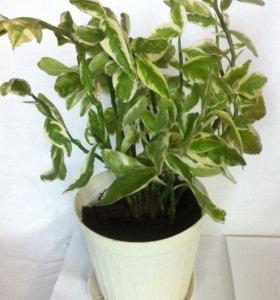 Педилантус ( комнатный цветок)