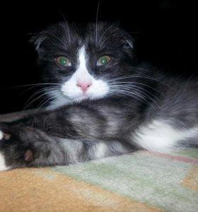 Вислоухий котенок, кошечка 3мес.