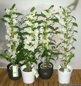 Орхидея дендробиум Нобиле65 см