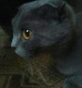 Кошка Вислоухая Шатландская.