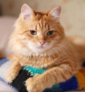 Роскошный рыжий кот Шер-хан