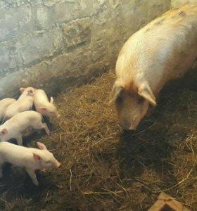 Продам свиней 3.5 месяца