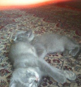 Котята от веслоухой кошки
