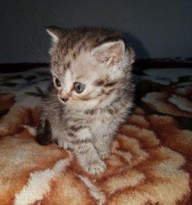 Котята Scottish fold и strait