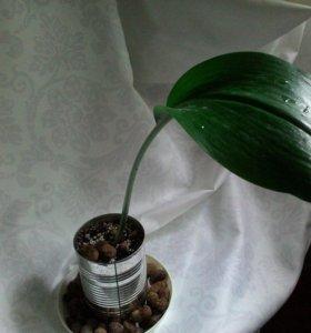 Эухарис, амазонская лилия, комнатное растение