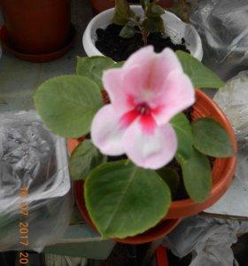 бальзамин (ванька мокрый) розовый с темно-розовой серединой