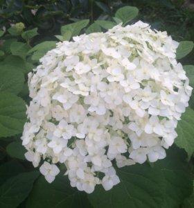 Цветы флоксы,гортензия,лилейники