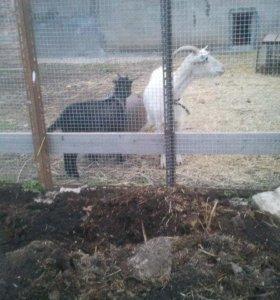 Дойная коза и козочка