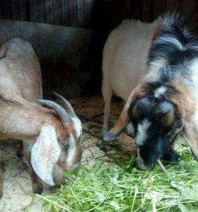Козёл и коза нубийские