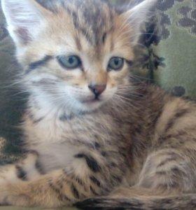 Котёнок гепардового окраса