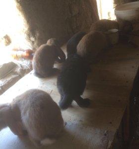 Кролики французкий баранчики